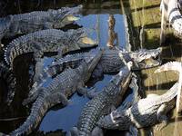 Crocodile Farm