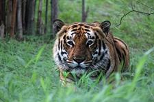 Crouching Tiger At Ranthambore NP