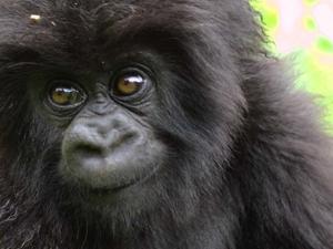 December Holiday Gorilla Package Fotos