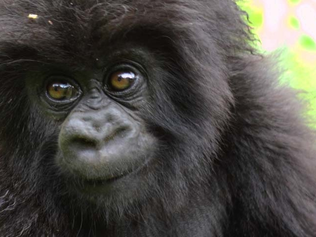 December Holiday Gorilla Package Photos