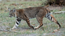 Calero Creek Trail Bobcat