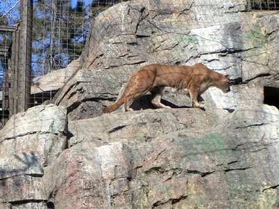 The Canadian Wilds, Cougar