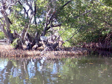 Channel In The Mangroves