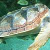Underwater Picture Of A Loggerhead Sea Turtle