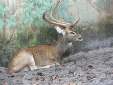 A Sangai Manipuri Deer Which Thrives On Phumdis