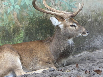 A Sangai Manipuri Deer Which Thrives On Phumdis