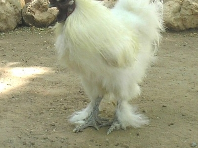 Chickens At The Las Vegas Zoo