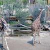 Large Giraffe Herd In Zoo