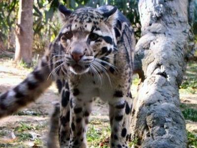Clouded Leopard Nashville Zoo