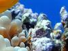 Clownfish At Sharm El Naga Beach