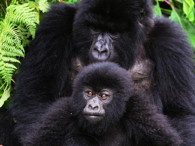 Three Day Gorilla Trekking Photos