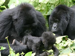 Rwanda Gorilla Tracking Photos