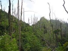 Dead Trees From Eruption