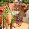 Decked Camel At Pushkar Fair