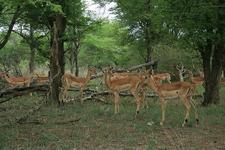 Deer At Kruger National Park