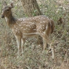 Chital (Spotted Deer) At National Park