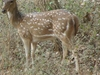 Chital (Spotted Deer) At National Park