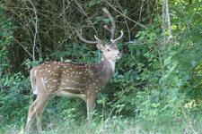 Deer In Bandipur National Park