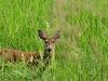 Deer In Kootenai River Valley