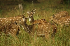 Deers In Kanha