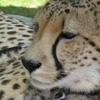 Delta Cheetah Wellington Zoo