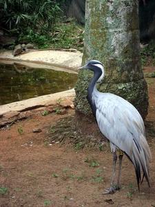 Demoiselle Crane At Umgeni River Bird Park