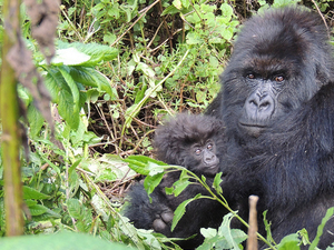 3 Days Tour to Uganda for Gorillas And Golden Monkey Tracking Fotos