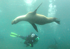 Diver And Juvenile Sea Lions, Anacapa Island