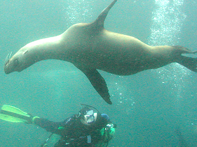 Diver And Juvenile Sea Lions, Anacapa Island