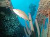 Diver At  Hilma  Hooker Wreck
