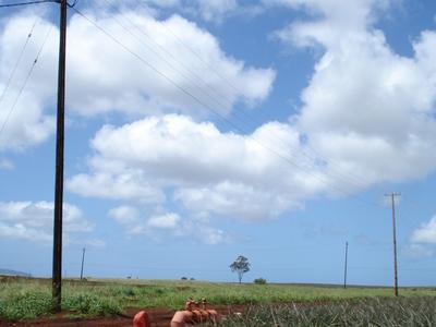 Dole  Pineapple  Plantation  Field