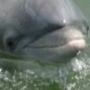 Dolphin Calibogue