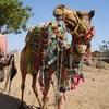 Camels For Transportation