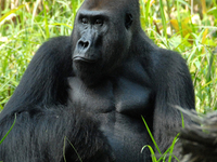 Cameroon Gorilla Tracking Tours