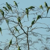 Parrots On Ranakpur Tree