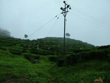 Makaibari Tea Garden At Kurseong