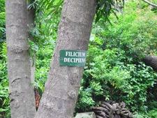Filicium Decipiens