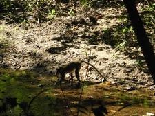 Monkey On Rinca Loh Buaya Trail