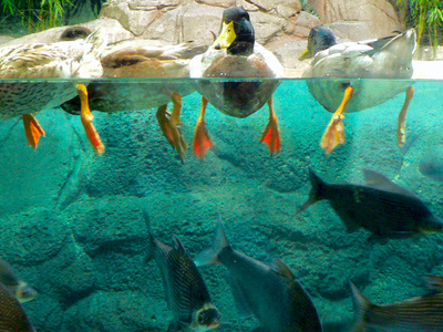 Ducks In Shanghai Ocean Aquarium