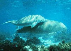 Dugong - A Vulnerable Marine Mammal