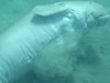 Dugong    Underside
