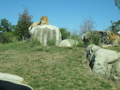 Dallas Zoo Lions