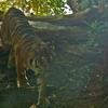 Dallas Zoo Tiger Walking