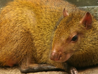 The Buffalo Zoos Brazilian Agouti