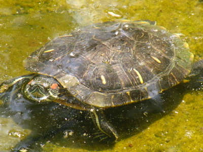 Turtles In The Lakes Of Los Tres Ojos
