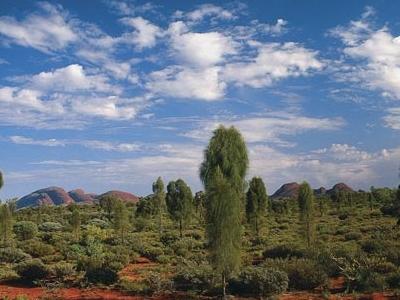 Desert Oaks With Kata Tjuta