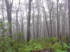 Deua Forest With Mist