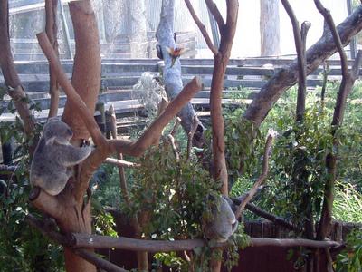 Dreamworld  Koalas