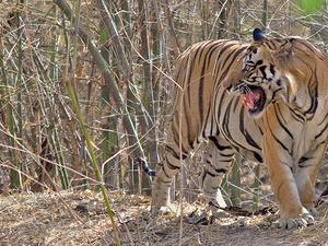 The Tiger Tour Photos
