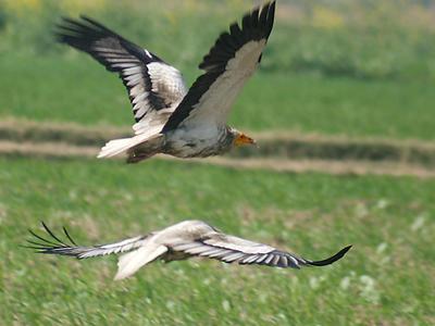Egptian Vultures